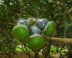 Trái cây tạo hình dịp Tết 'sốt' hàng