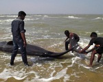 Hơn 120 con cá voi dạt vào bờ biển Ấn Độ