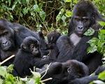 Lần đầu tiên quan sát thấy tinh tinh tấn công và hạ gục khỉ đột - ảnh 2