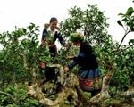 Tìm hiểu cách làm trà shan tuyết cổ thụ nổi tiếng vùng Tây Bắc