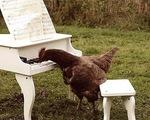 Pháp: Gà trổ tài đánh đàn piano siêu đỉnh