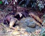 Bò tót quý hiếm chết trong rừng phòng hộ Nghệ An