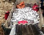 Sẽ điều tra nguyên nhân cá hồi Sa Pa chết hàng loạt