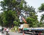Số phận hơn 100 cây xanh trên phố Kim Mã sẽ ra sao sau khi được di dời?