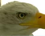 Dùng chim đại bàng xử lý thiết bị không người lái