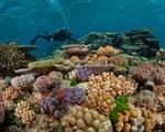 Hàng trăm hecta rạn san hô ở Côn Đảo bị tẩy trắng do El Nino