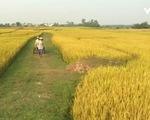 Xuất khẩu trầm lắng, giá gạo tại ĐBSCL sụt giảm