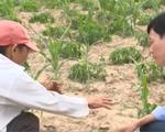 Thiếu vốn tái đầu tư sản xuất sau nắng hạn tại Nam Trung Bộ