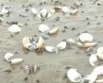 Ngao chết hàng loạt, người dân Hà Tĩnh thiệt hại trên 4 tỷ đồng