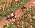 Người dân Sơn La mắc nợ trăm triệu vì trồng ngô