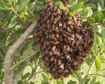 Cứu sống bệnh nhân bị ong vò vẽ đốt hơn 100 vết