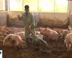 Khám phá mô hình chăn nuôi thịt lợn sạch không phát thải