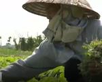 Nông sản sạch loay hoay với đầu ra tiêu thụ