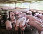 Giá lợn hơi ở Đông Nam Bộ tiếp tục giảm