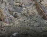 Tìm nguyên nhân cá chết tại Cà Mau