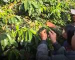 Lâm Đồng bùng phát dịch bọ xít muỗi gây hại cây cà phê