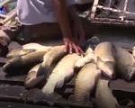 Cá lồng chết hàng loạt trên sông Bồ, Thừa Thiên - Huế