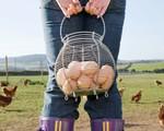 Nông dân Hà Lan điêu đứng vì trứng 'bẩn'