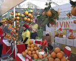130 ha cam sành Hàm Yên được cấp giấy chứng nhận VietGAP - ảnh 1