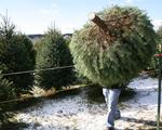 Khan hiếm cây thông Noel tại Mỹ