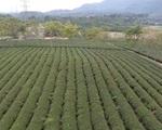 Đẩy mạnh xuất khẩu chè Thái Nguyên ra thị trường thế giới