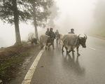 Sa Pa 3 độ C, người dân sơ tán gia súc xuống vùng thấp tránh rét - ảnh 1