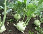 Quy trình trồng su hào sạch khác gì với trồng thông thường?