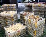 Bắt giữ vụ vận chuyển lậu hàng chục nghìn con gia cầm giống tại vùng biên - ảnh 1