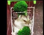 Vẻ đáng yêu của cô chuột Hamster ăn bông cải xanh