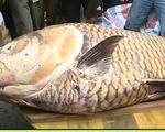 Bắt được cá hô 'khủng' gần 100kg trên sông Tiền