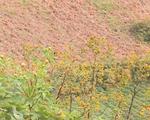 Sắc vàng rực rỡ hoa dã quỳ trên núi lửa Chư Đăng Ya