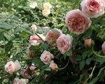Nhiều giống hoa mới phục vụ Tết Mậu Tuất 2018