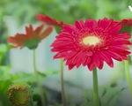 Làng hoa Sa Đéc trồng nhiều giống hoa mới cho Tết