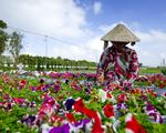 Làng hoa Sa Đéc chuẩn bị 2 triệu giỏ hoa dịp Tết Nguyên đán