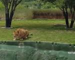 Định tấn công du khách hiếu kỳ, chú sư tử bất ngờ dính một 'vố' đau