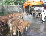 Dịch lở mồm long móng có nguy cơ lan rộng ở Gia Lai