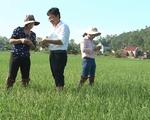 Nghệ An ra mắt dịch bệnh lùn sọc đen hại lúa