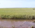 TT-Huế: Nhiều diện tích lúa Hè Thu bị mất trắng