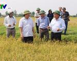Nông dân Quảng Trị phân phối lúa sạch ở ruộng