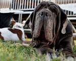 Thú vị cuộc thi... chó xấu nhất thế giới
