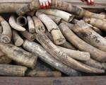Lượng ngà voi bị thu giữ trên thế giới tăng cao nhất trong 3 thập kỷ