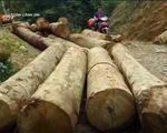 Tận diệt pơ mu ở rừng đầu nguồn - ảnh 1