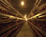 Xuất lô thịt gà Thứ nhất sang Nhật: Mở ra hướng đi sáng cho ngành chăn nuôi