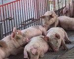 Giá thịt lợn tăng vọt: Khuyến cáo từ nhiều phía!