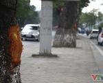 Hà Nội: Cận cảnh hàng chục cây xà cừ ở đường Láng bị lột vỏ