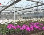 Lâm Đồng: Hoa lan vụ Tết nở sớm