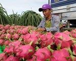 Tiêu thụ thanh long - Giải pháp nhìn từ thị trường Trung Quốc