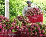 Thanh long xuất khẩu giảm giá, giảm lượng
