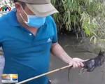 Săn chuột đồng mùa nước nổi, một người có thể bỏ túi 1 triệu đồng/ngày