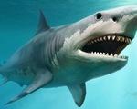 Hóa thạch răng cá mập khủng nặng 1,3 kg và dài 17 cm - ảnh 2
